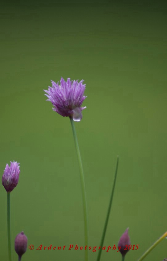 Dew Drop Chive by Ardent Photography