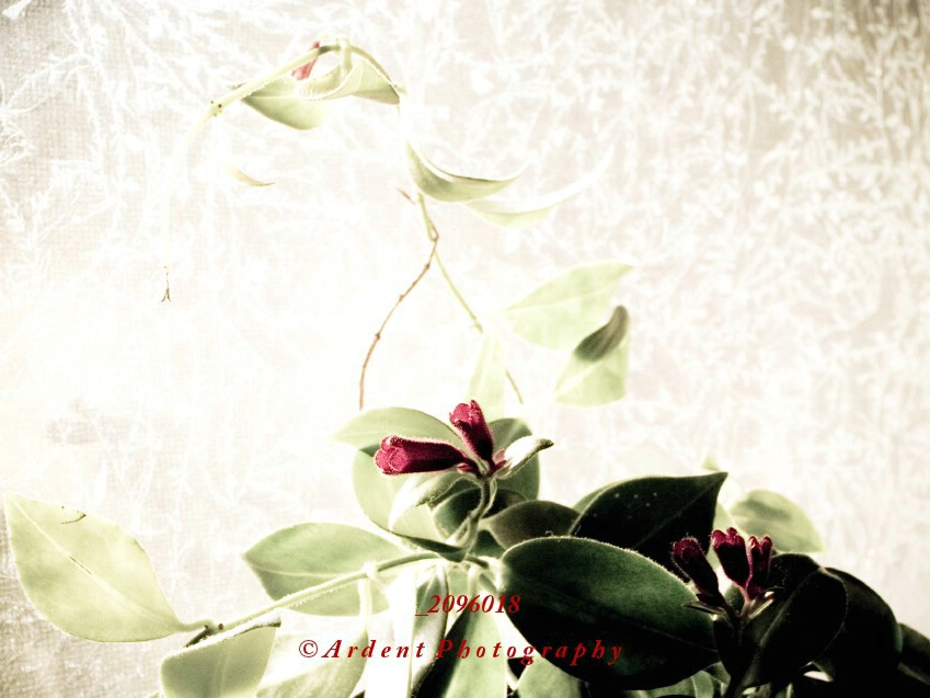 Wandering Jew Photograph
