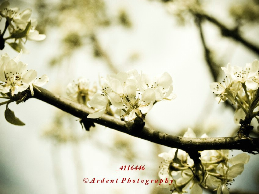 Pear Blossoms Photograph