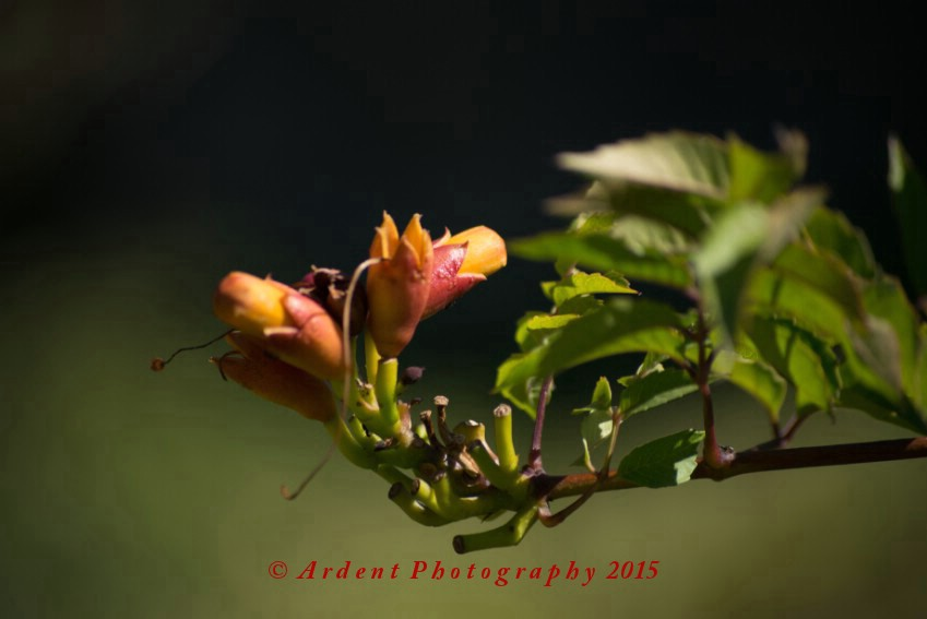 In Bud Photograph
